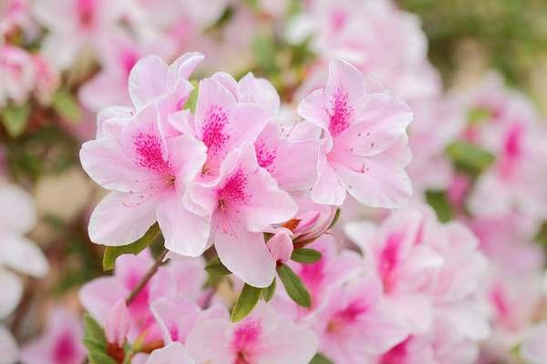 significato fiore azalea