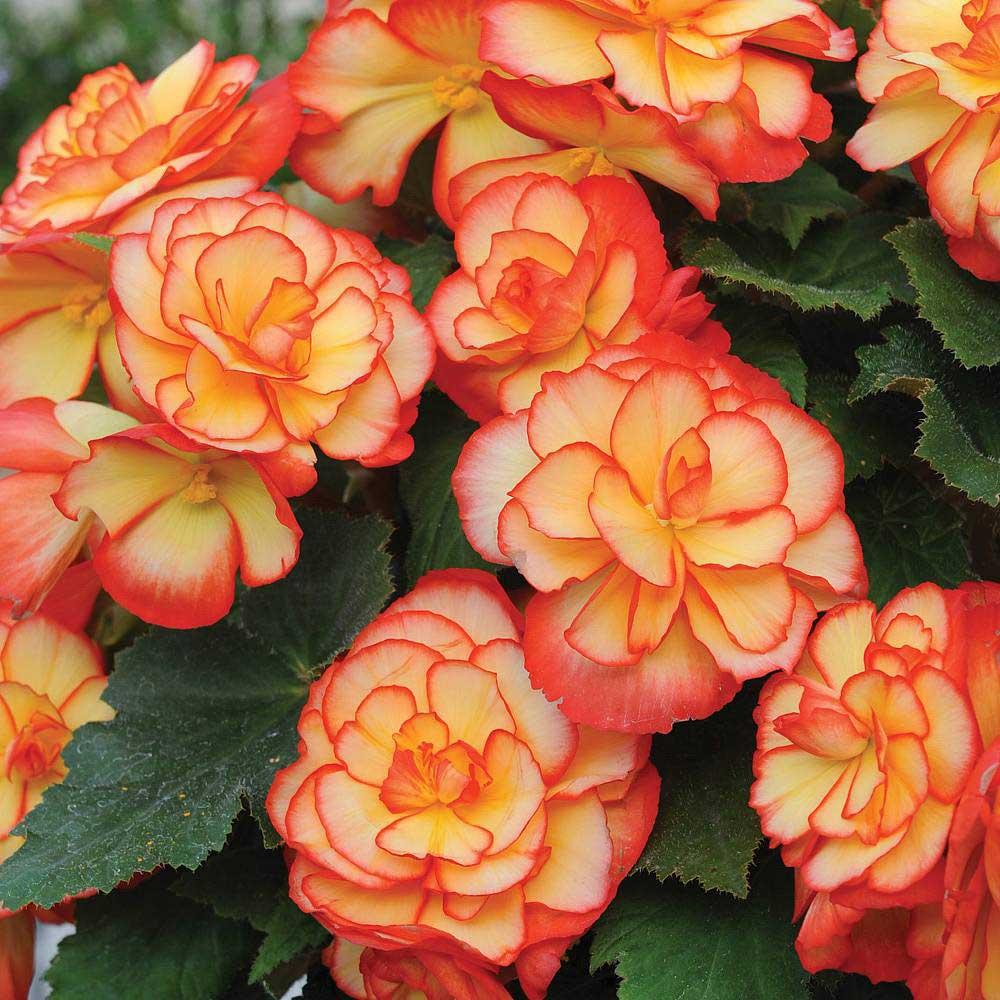 significato begonia