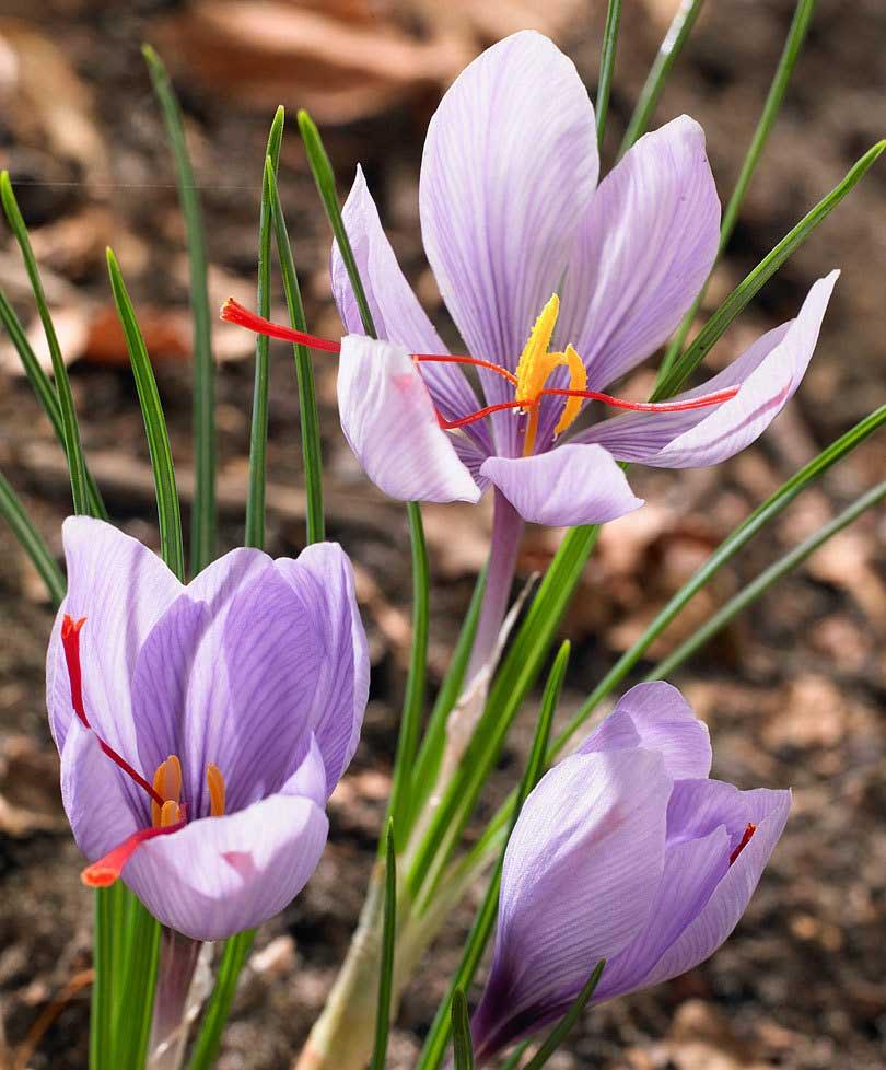significato fiore croco