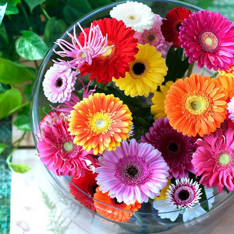 sgnificato fiore Gerbera