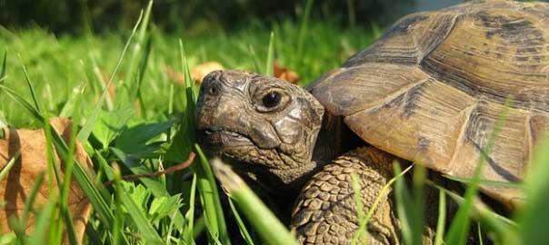 L 39 atteso risveglio delle tartarughe di terra habitante for Tartarughe di terra letargo