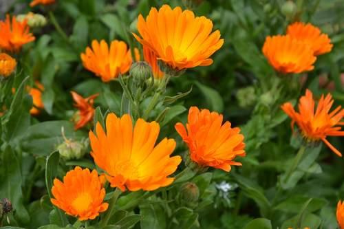fiori anti zanzare