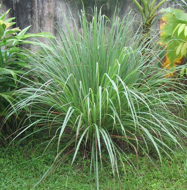 piante contro le zanzare