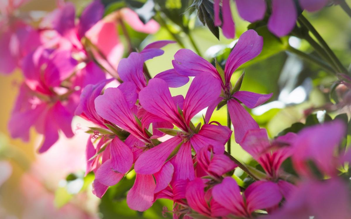 come prendersi cura dei gerani nel mese di Marzo - www.pixabay.com