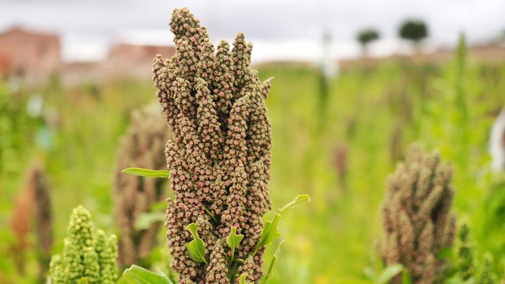 quinoa habitante
