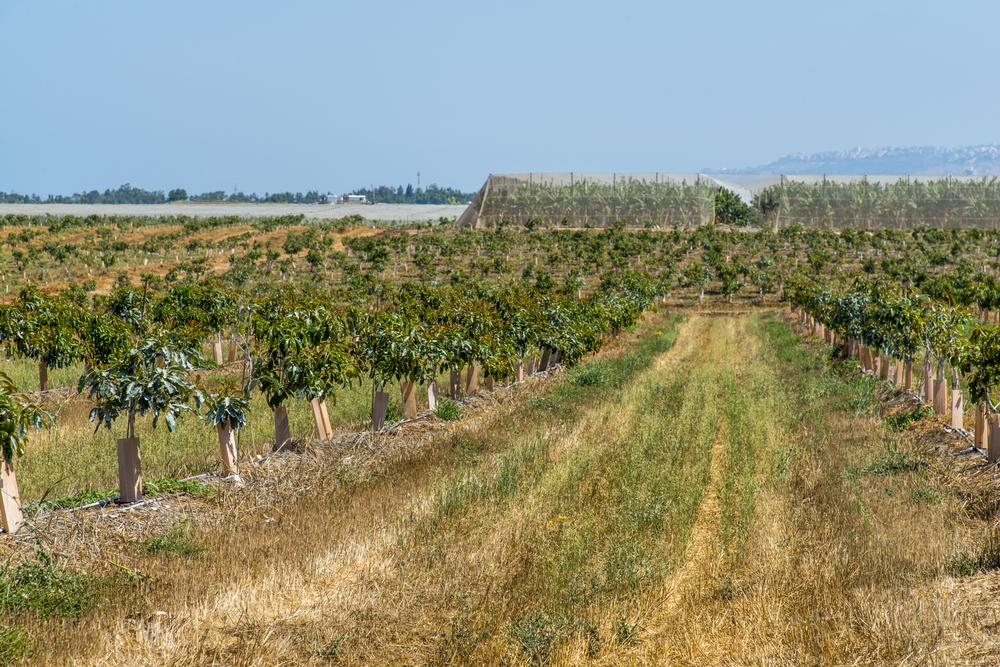 piantagione avocado habitante