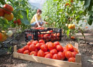 Raccolta dei pomodori a luglio