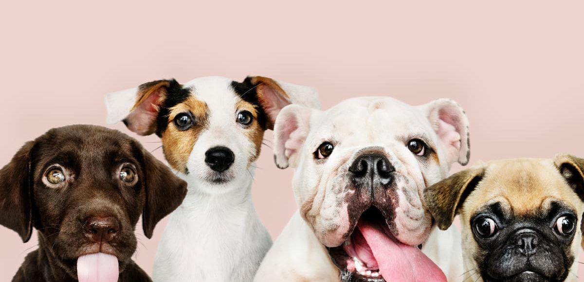 Quante sono le razze di cani