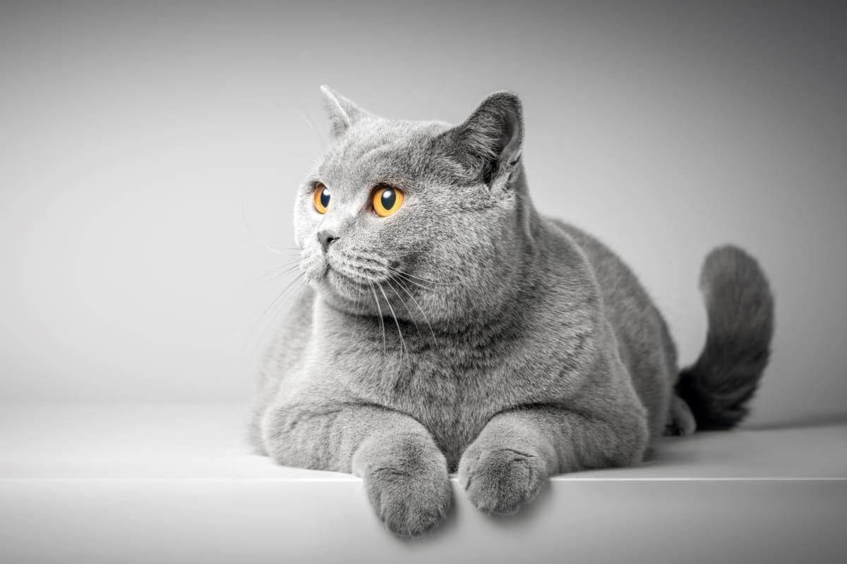 Quante razze di gatti ci sono al mondo?