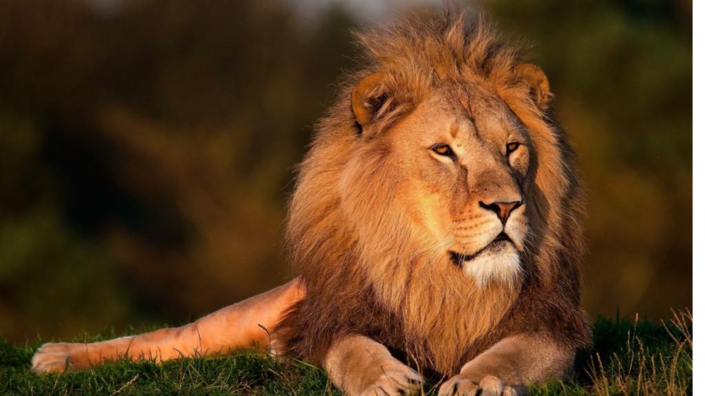 Quanti leoni sono rimasti sulla Terra?