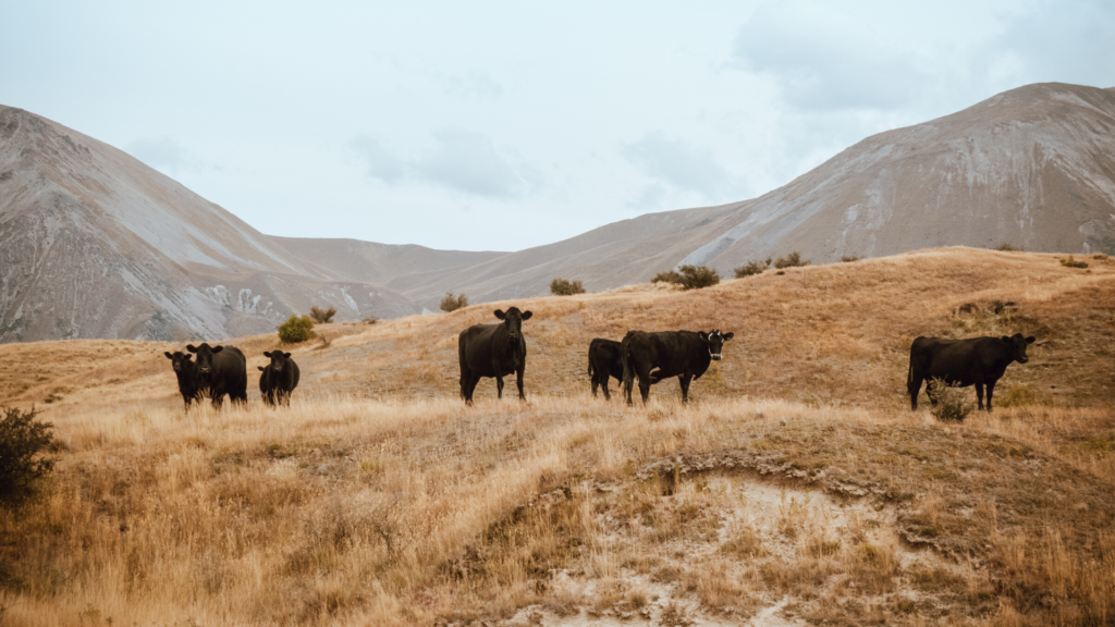 Ritorno alla terra: come aprire un'allevamento di bovini