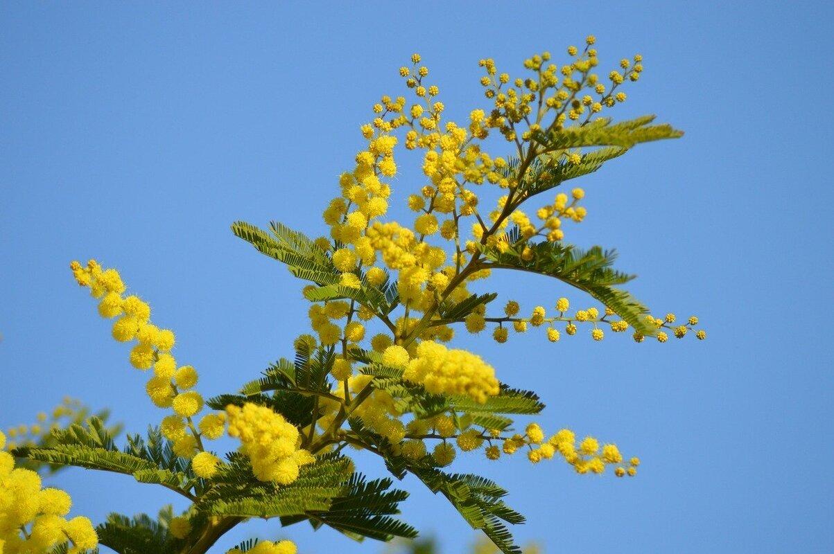 coltivare albero di mimosa
