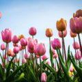 Coltivare tulipani in casa: estetica e armonia
