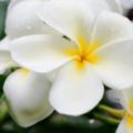 Gardenia, l'elegante e profumato fiore d'aprile