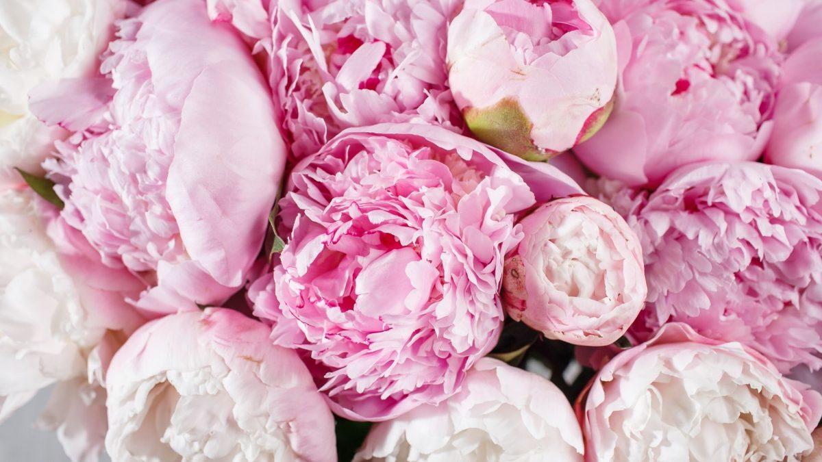 Peonia, colora di rosa la tua casa: ecco come coltivarla