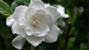 Gardenia, quando coltivarla?