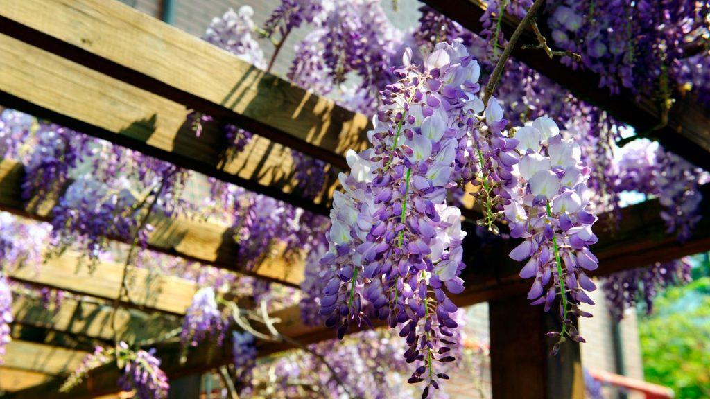 Coltivare il Glicine per arredare il giardino