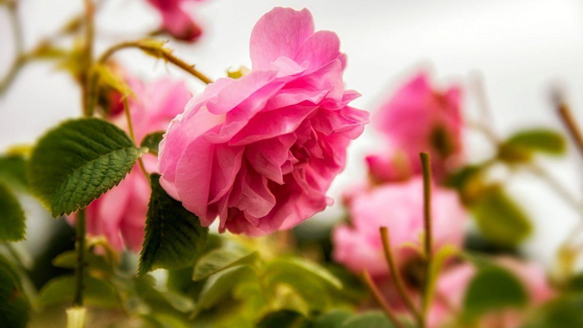 ecco come coltivare la rosa