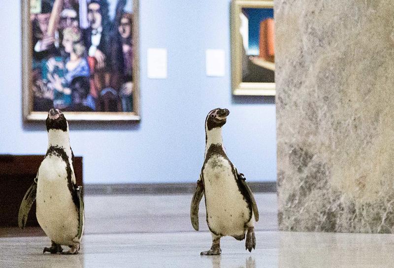 Tre pinguini in visita al Museo Nelson-Atkins di Kansas City