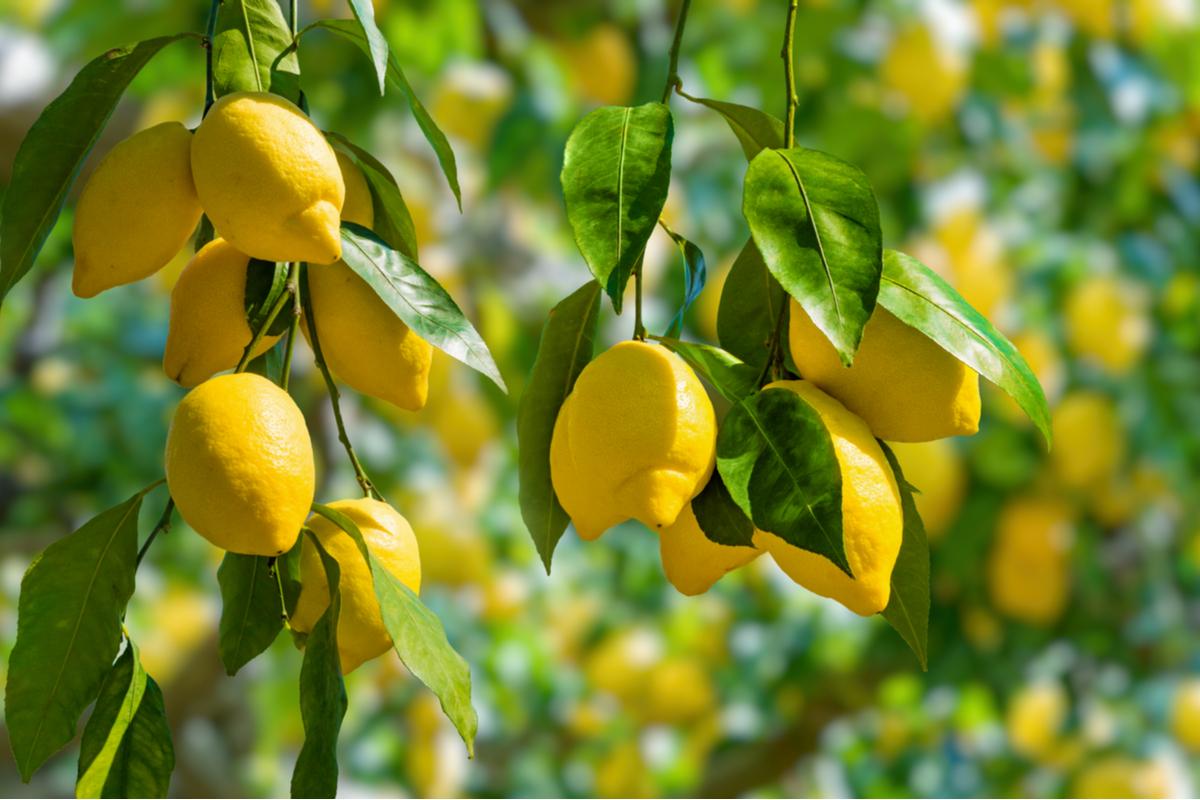 proprietà benefiche limone