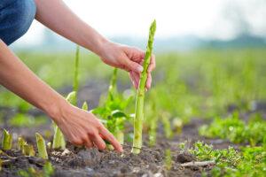Asparagi, un beneficio per la salute