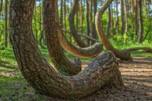 La misteriosa foresta con alberi arcuati in Polonia