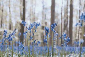 La foresta blu di Hallerbos in Belgio, tra natura e magia