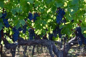 vigneto vite uva