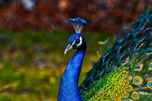Pavone, alla scoperta dell'uccello più elegante del mondo
