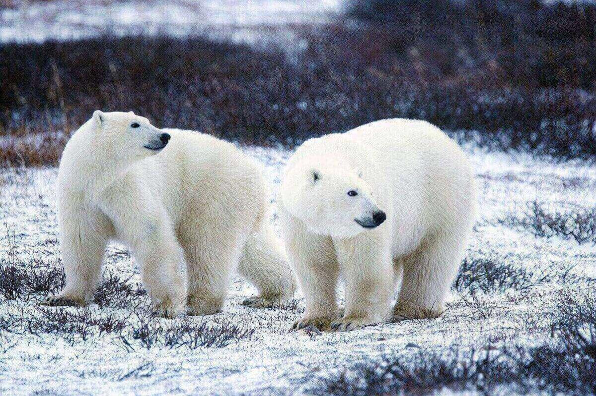 orso poare estinzione