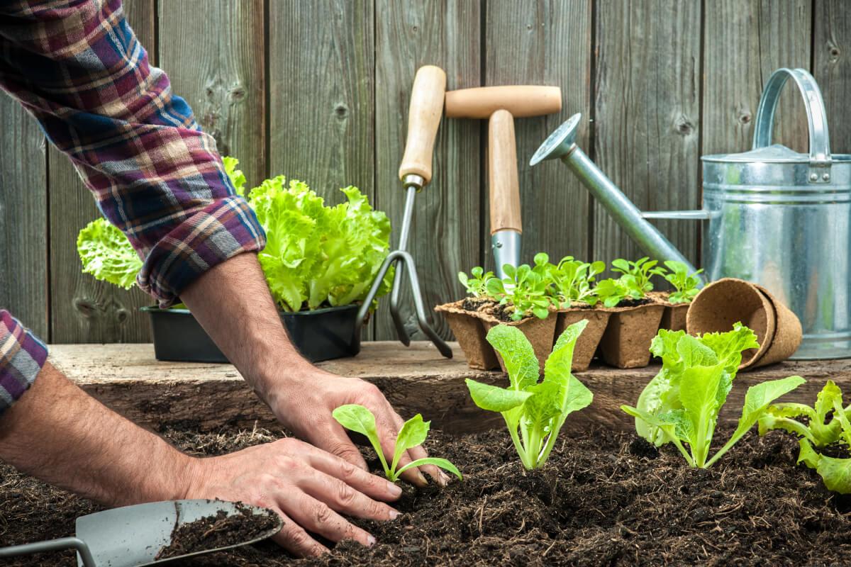 Cosa trapiantare ad agosto nell'orto?