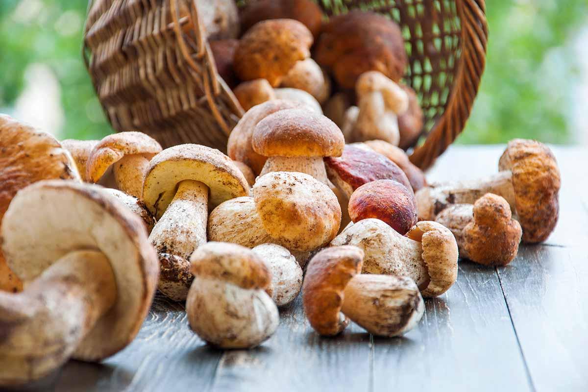 mangiare funghi crudi