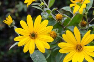 fiori commestibili da raccogliere in inverno