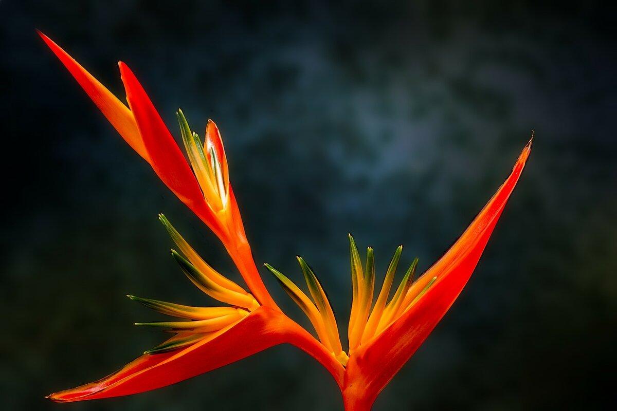 Piante tropicali - fiore paradiso