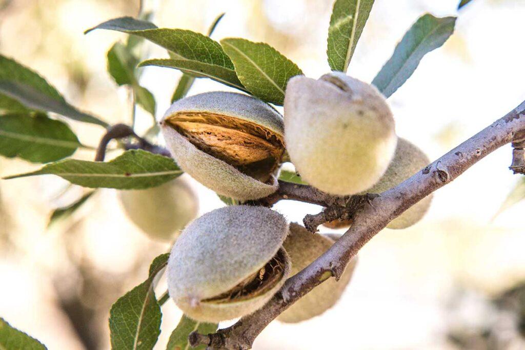 Le iniziative sostenibili nel mondo la sostenibilità alimentare e le proprietà benefiche delle mandorle