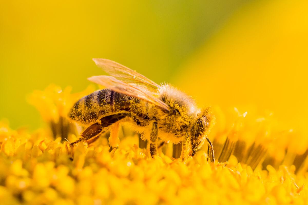 Le api in primavera