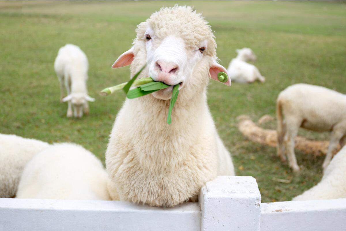 pecora come animale domestico - animali da compagnia