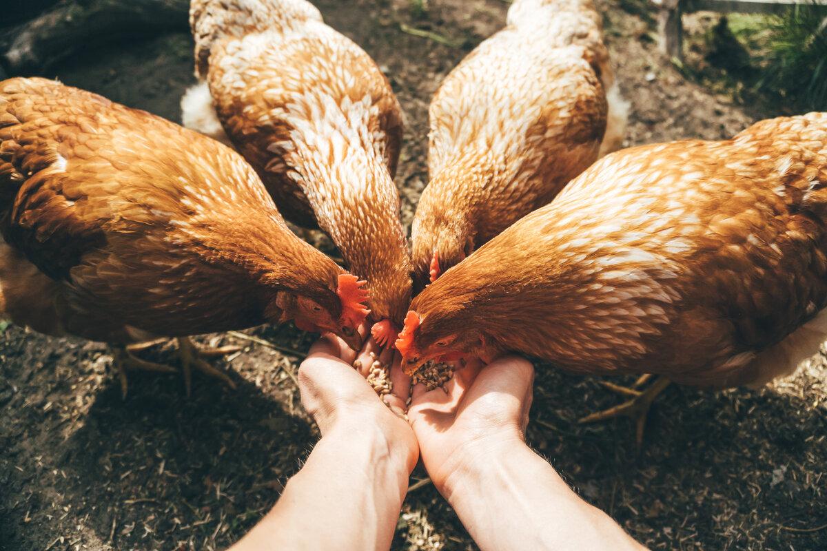 Autosufficienza alimentare - galline