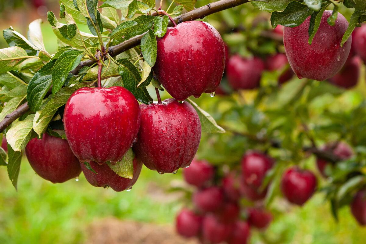 Coltivare mele - albero di mele