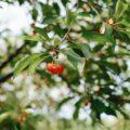 L'impollinazione del ciliegio - coltivare