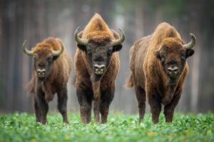 la rinascita del bisonte europeo