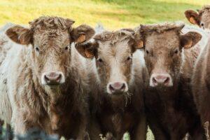 Consumo di carne - bovini