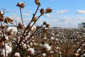 Cotone organico o rigenerato - differenze