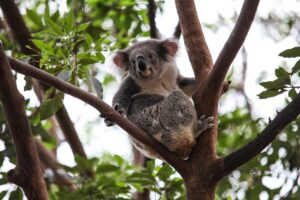 Coma stanno i koala in australia?