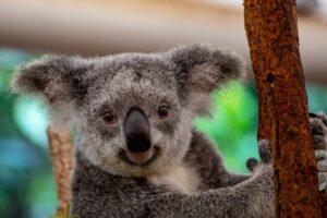 I koala sopravvissuti al rogo in Australia