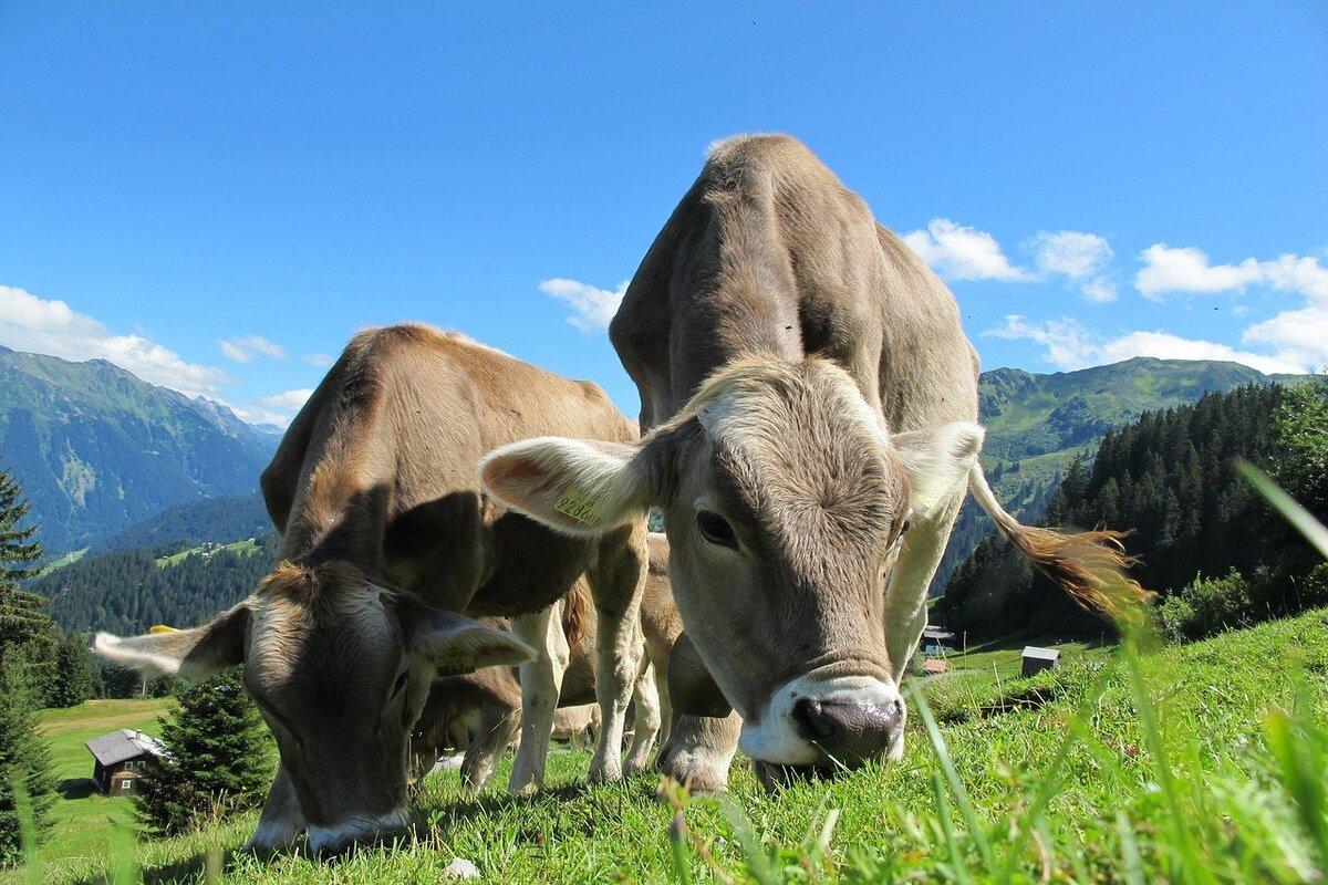 Latte a basse emissioni - mucche