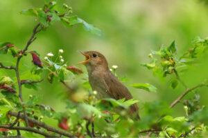 L'usignolo canta per la bella stagione