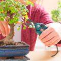 curare un bonsai