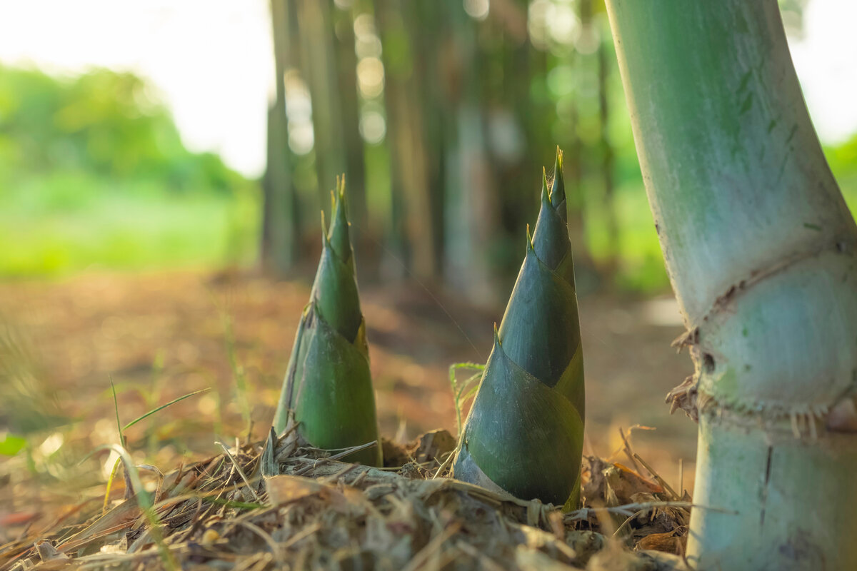 Germogli di bamboo