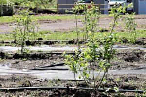 campo coltivazione mirtilli